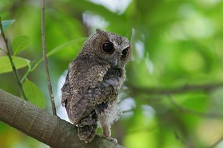Collared Scops Owl, juvenile3