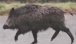 Hong-Kong-boar101