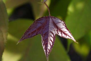 Tri-lobed Leaf