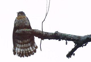 Hawk_Cuckoo