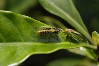 Mating Green Grass Cicadas