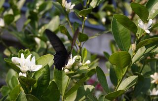 Spangle Butterfly on Calamansi Flower
