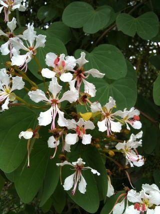 Bauhinia Cateriflora