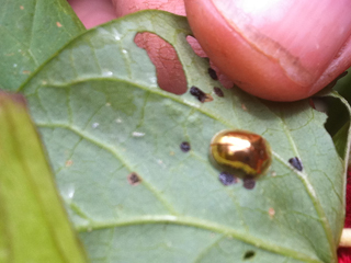Tortoise Beetle on Bindweed