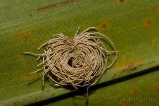 Palmetto Tortoise Beetle Frass