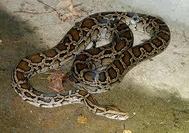 Python molurus bivittatus