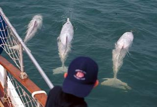 Indo-Pacific Hump-backed Dolphins