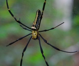 Nephila Maculata