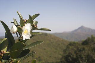 Camellia and Sharp Peak