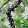 Creeper Fungus