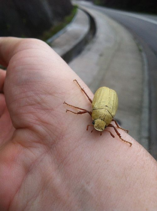 Mustard Yellow Bug