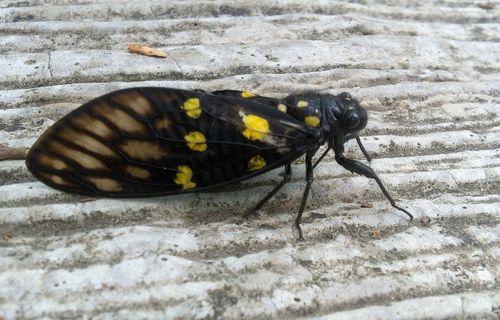 Mr Spotted Black Cicada (Gaeana Maculata)