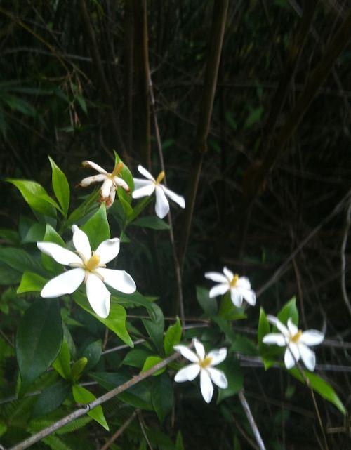 Cape Jasmine 2