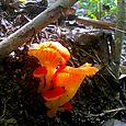 Little Orange Fungi