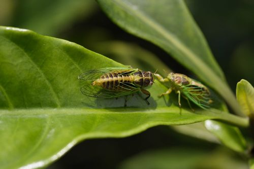 Mating Green Grass Cicadas
