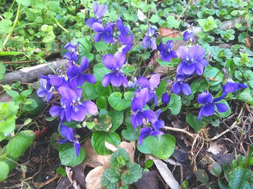 Violets in the Park