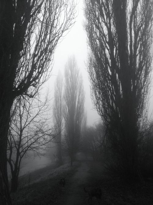 Foggy Poplars