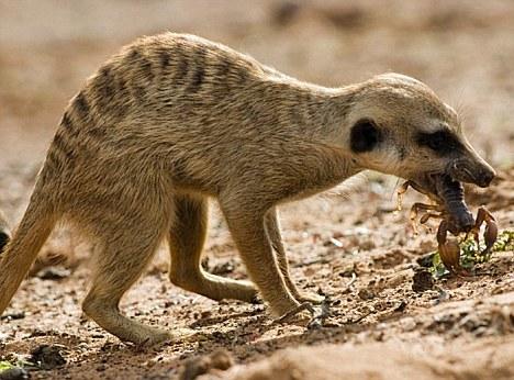 Meerkat and Scorpion