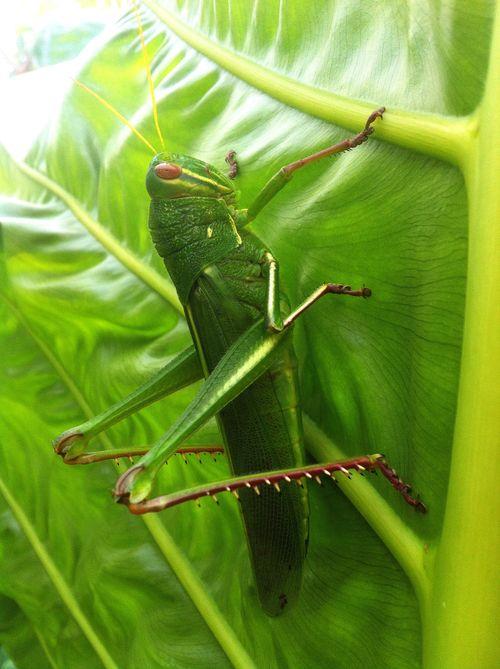 Grasshopper gastrimargus marmoratus