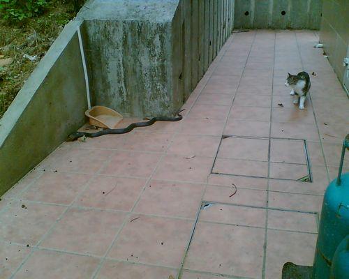 Kitty and Cobra2